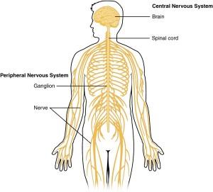 das ist der aufbau des nervensystems