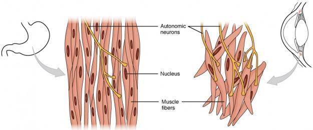 diese abbildung zeigt den aufbau der glatten muskulatur