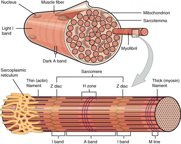 Muskelfasern der Skelettmuskulatur