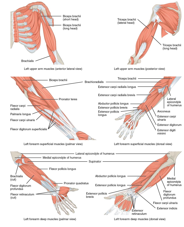 dieses bild zeigt die muskeln die die unterarme bewegen