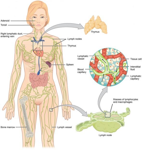 lymphatisches System und dessen Organe