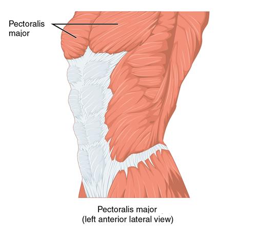 pectoralis major (left anterior lateral-view)