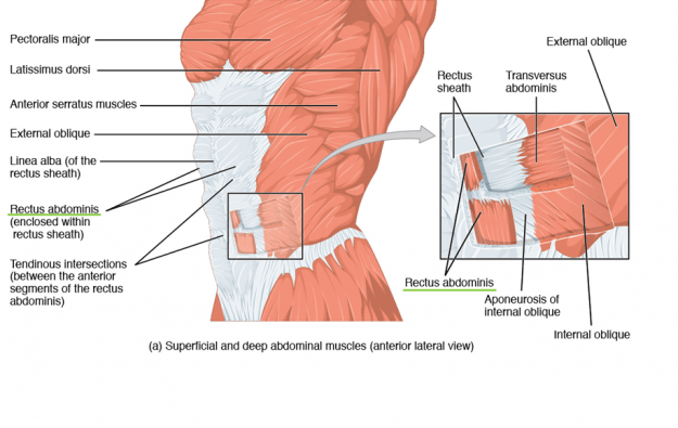 Superficial and deep abdominal muscles (anterior lateral view)