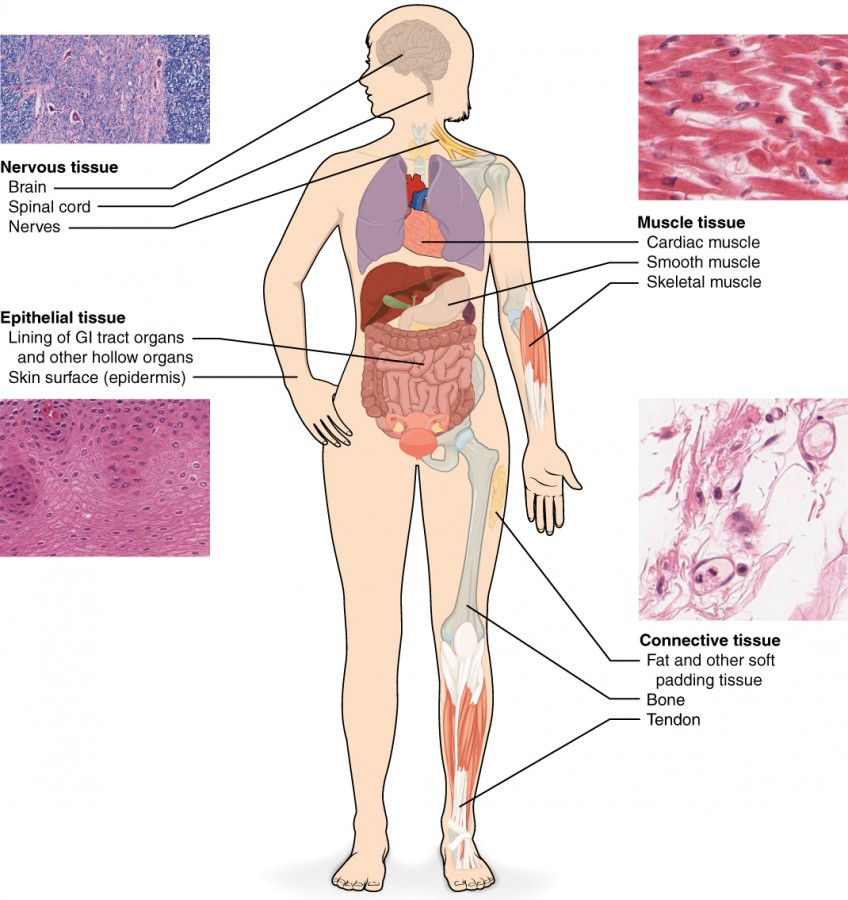 four main types of tissue Four types of animal tissue generally animals are said to made up of these basic four type of tissues its main functions are secretion and absorption.