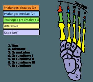Fußknochen