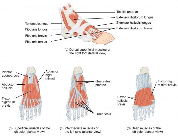 Muskeln des Fußes