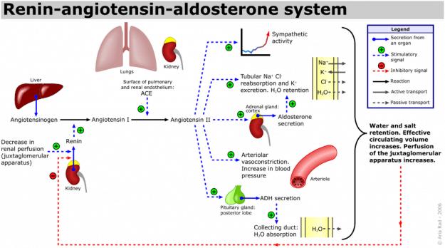 Renin-Angiotensin-Aldosteron-System (RAAS)