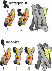 diese abbildung zeigt Konfomationsaenderungen des μ-Rezeptors bei einer Ligandenbindung
