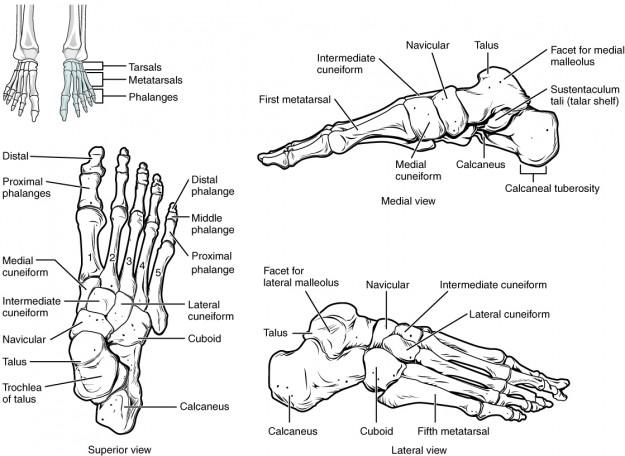 diese abbildung zeigt den aufbau der fußknochen