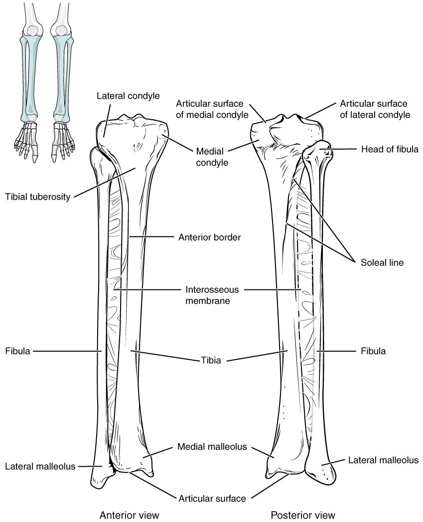 Ungewöhnlich Tibia Knochen Ideen - Menschliche Anatomie Bilder ...