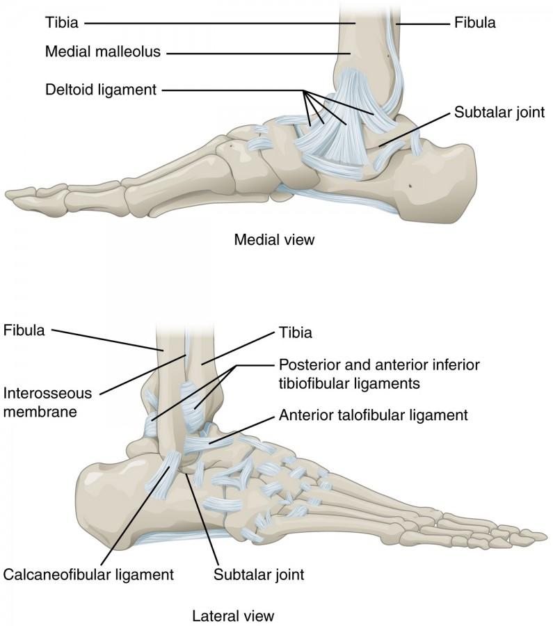 Oberes Sprunggelenk: Anatomie der unteren Extremität