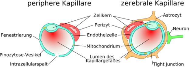 kapillare
