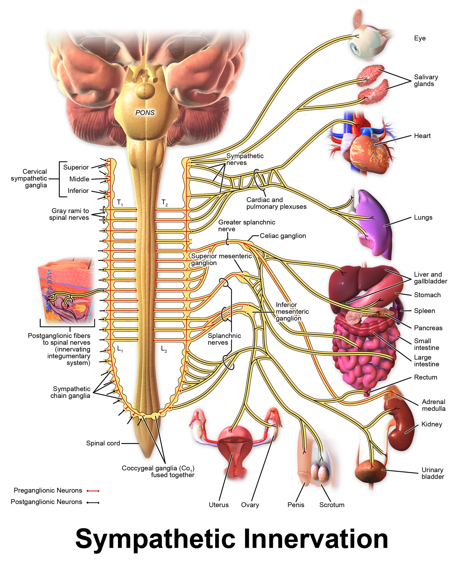 Vegetatives Nervensystem on where are your adrenal glands located