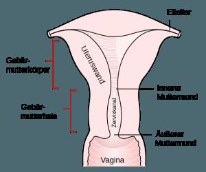 aufbau-uterus
