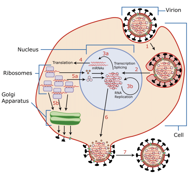 A diagram of influenza viral cell invasion and replication.