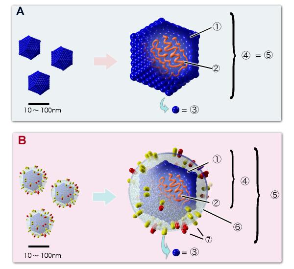 Grundstruktur von Viren