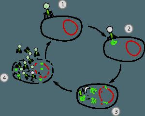 Lytischer Zyklus