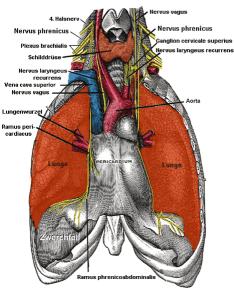 Innervation des Diaphragmas