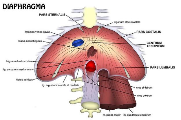 diaphragma zwerchfell