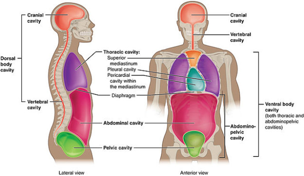 Serous Membrane Diagram as well Human Heart And Its Function Heart Wikipedia furthermore Organs Of The Digestive System Overview Of The Digestive System Anatomy And Physiology Ii as well 9826038 in addition 10577078. on heart in thoracic cavity