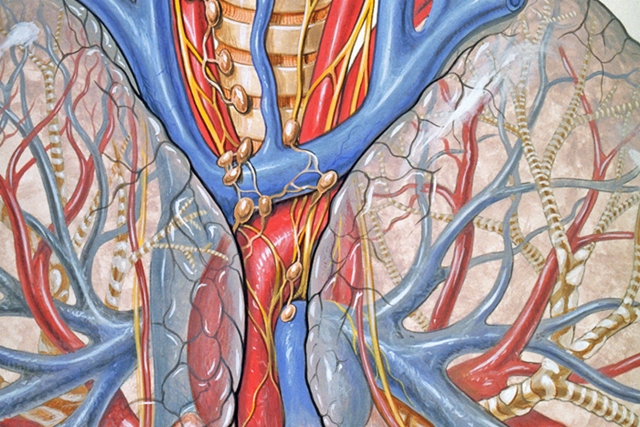 """Bild: """"Anatomy of the mediastinum (the central chest and heart area)"""" von Patrick J. Lynch, medical illustrator. Lizenz: CC BY 2.5 Das Bild wurde zugeschnitten."""