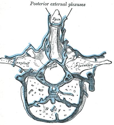Plexus venosus des Rückenmarks