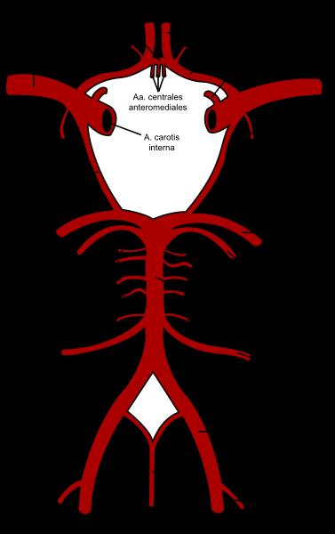 irculus arteriosus Willisii