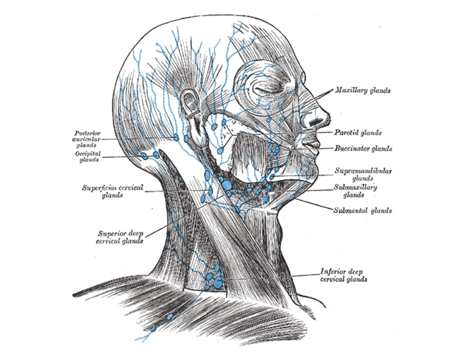 lymphknoten im kopf- und halsbereich