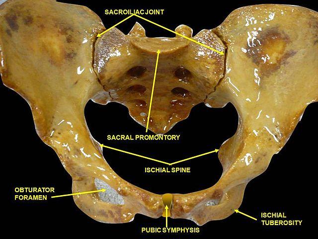Symphysis pubica