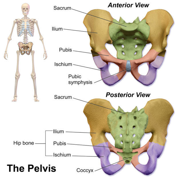 "<a href=""https://en.wikipedia.org/wiki/File:Blausen_0723_Pelvis.png#/media/File:Blausen_0723_Pelvis.png"">Bild</a>: ""Pelvis."" von BruceBlaus. Blausen Medical Communications, Inc.. Lizenz: <a href=""https://creativecommons.org/licenses/by/3.0/deed.en"">CC BY 3.0</a>"