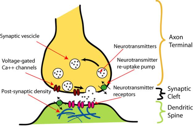 Synapsenillustration