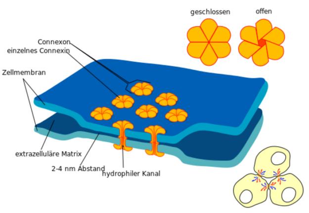 Darstellung einer Gap Junction (Zell-Zell-Kanal)