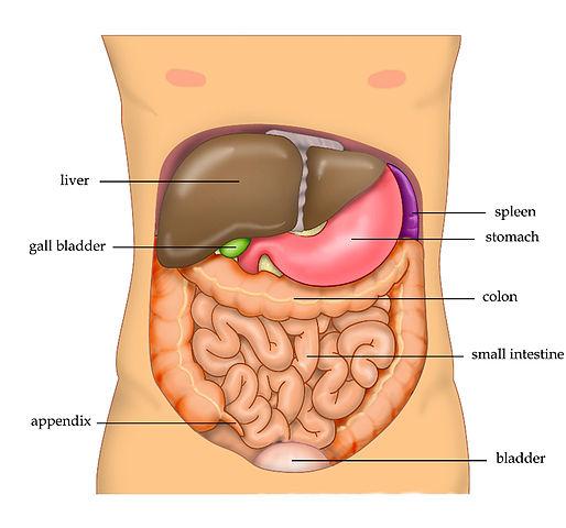 514px-anatomy_abdomen_tiesworks